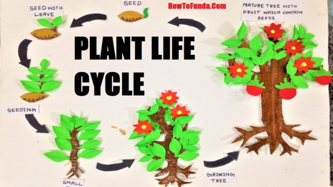 Plant life cycle model for school science exhibition for